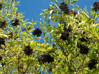 Ripe elderberry on bush
