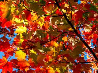 Billede af 'efterår, ahorn, sollys'
