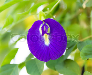 Butterfly pea Clitoria ternatea L. on tree