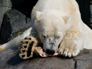 Polar bear eating
