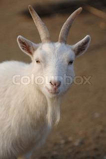 Image of 'goat, the, white'