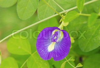 Butterfly pea flower medicinal herbs