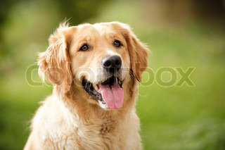 Head shot of Golden Retriever looking very interested