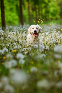 Dog in field of dandelions