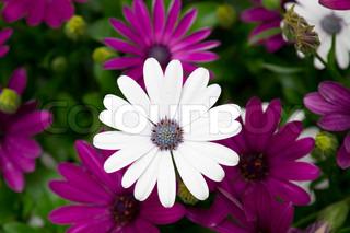 Billede af 'baggrund, osteospermum, pæn'