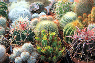 Collection of small cacti