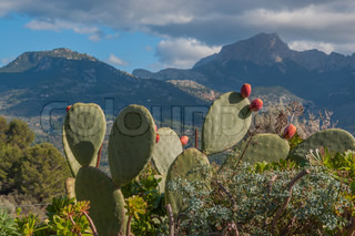 Mountain landscape with prickly pear cactus Platyopuntia, Mallorca