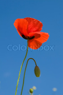 Image of 'poppy, poppies, petals'