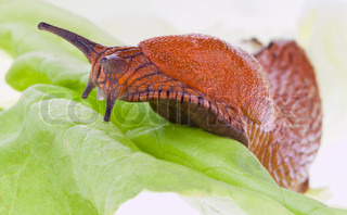 A slug crawling on a leaf of lettuce
