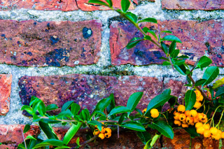 Seabuckthorn berries against red brick wall, natural frame background