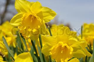 Påskeliljer på en forårsdag