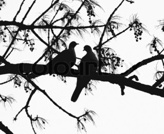 Image of 'doves, two, bird'