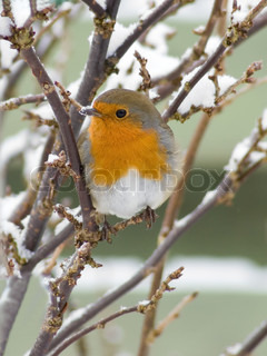 robin redbreast in a bush in snow
