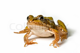 little green frog , elophylax pm .