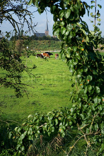 Holland, view of cows grazing in field