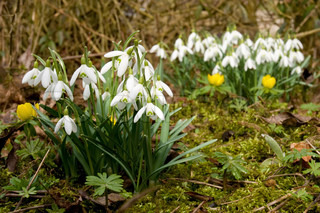 Two groups of snowdrops and some winter aconite / to grupper vintergækker og nogle erantis