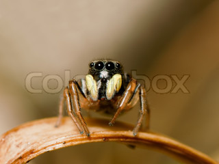 Close up macro photo of Jumping Spider