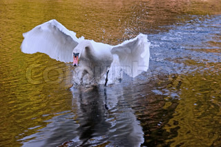 Angry mute swan painting attaction king across a lake