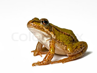 small green frog on a white background , looking up