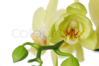 Green orchid on white background