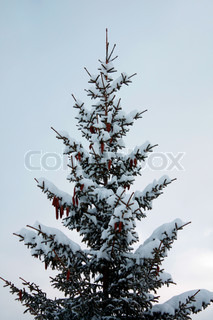 Billede af 'grantræ, juletræet, naturlige'