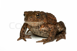 Small Common toad , bufo bufo , on white background