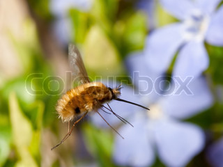 The strange bee fly in the air , with a flower in the background