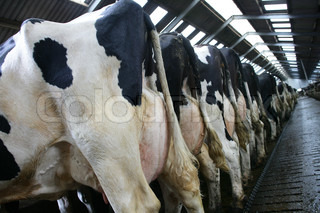Cows in a row with big udders full of milk