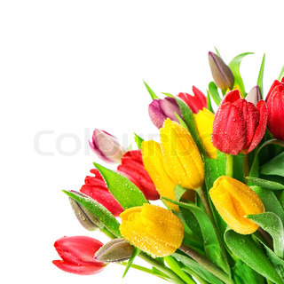 fresh multicolor tulips with water drops. spring flowers