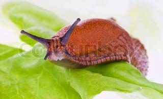 Billede af 'sneglen, rødmosset, Have'