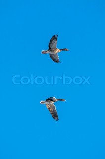 Geese flying on blue background