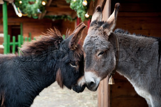 Two cute  Donkeys Snuggling