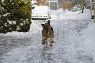 beautiful german shepherd on snow