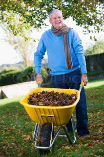 Senior man collecting autumn leaves in wheelbarrow