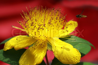 Yellow flower of Hypericum beanii
