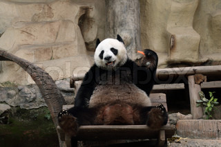 giant panda b r essen bambusblatt in wien zoo sterreich stock foto colourbox. Black Bedroom Furniture Sets. Home Design Ideas
