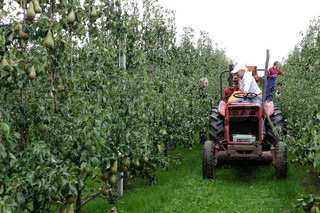 harvest of pear in orchards