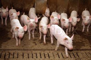 A group of piglets in her stall looking curious