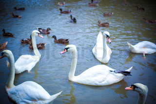 Swan family swimming in Pond