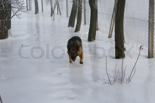 beautiful german shepherd on ice