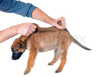 Small Dog In Pain When Being Picked Up
