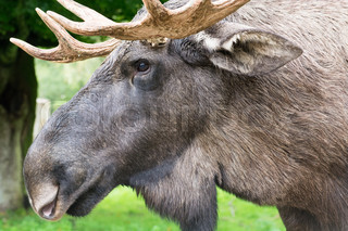 Detail of the head a male moose, Alces alces