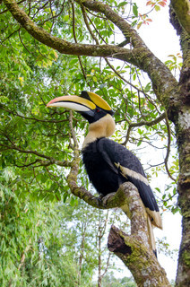 Hornbill stand on the branch