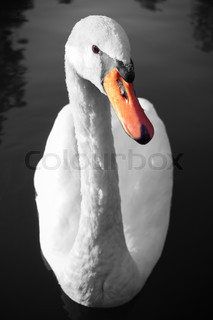 Swan portrait on water