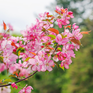 Pink flowers on branches. Tree in spring.