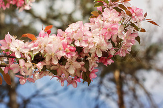 Spring pink flowers on branches of trees