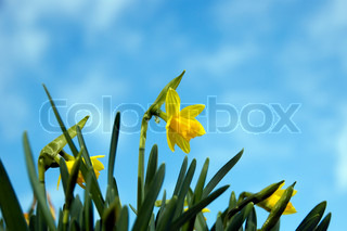yellow daffodil and blue sky
