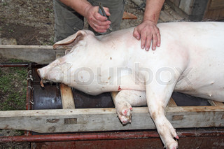 slaughtered pigs2