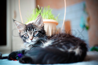 Close up of Black tabby color Maine coon kitten