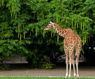 giraffe in zoo in holland Rotterdam